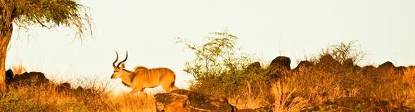 Ein Erdling namens Gazelle in natürlichen Lebensraum