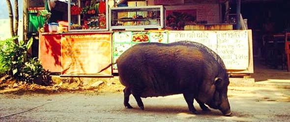 Thailand_Schwein