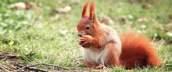 Eichhörnchen kämpfen